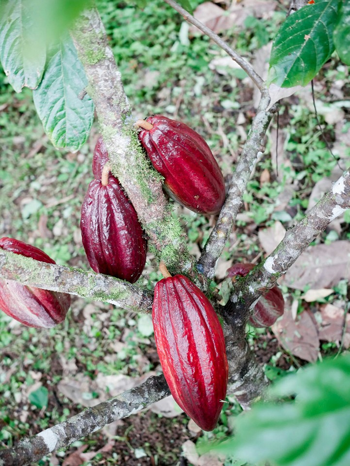 theobroma-cacao.jpg