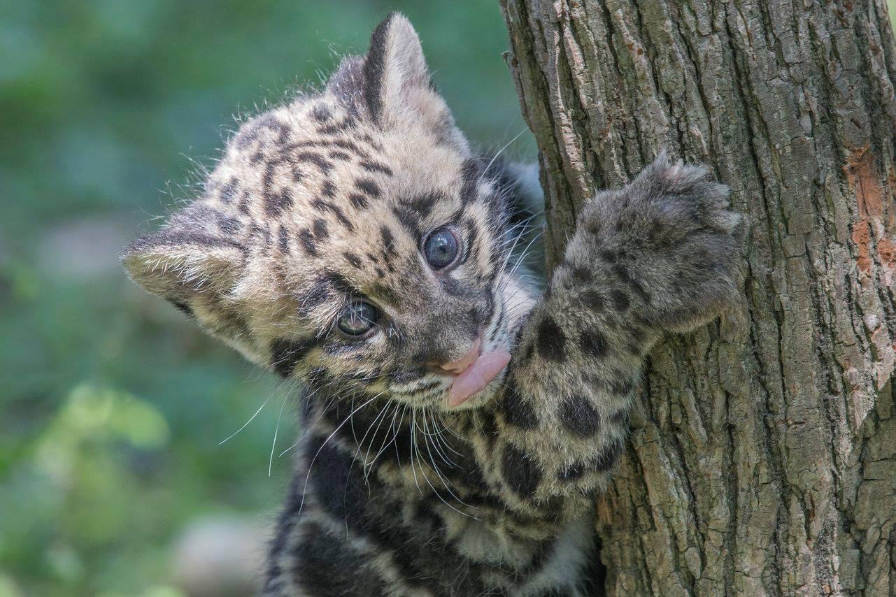 vietnam-leopard.jpg