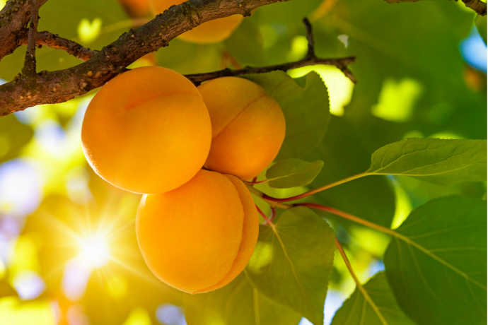 Fresh Apricots: Get 'Em Before They're Gone