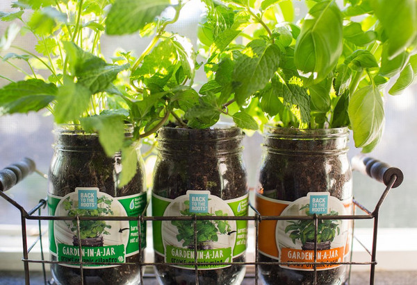 Garden-in-a-Jar (3-pack) Basil, Cilantro & Mint - Back to the Roots
