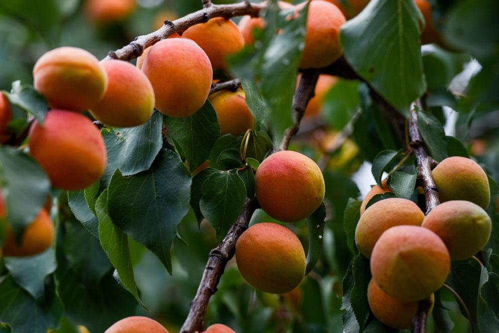 ARVOR CBD Apricot Flavors
