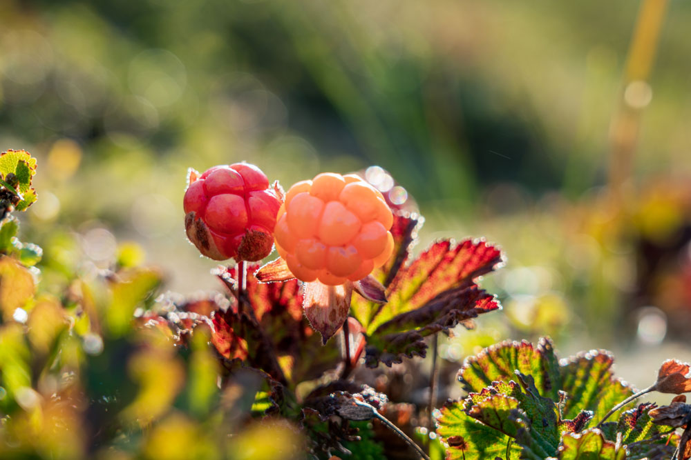 ARVOR CBD Cloudberry Flavors