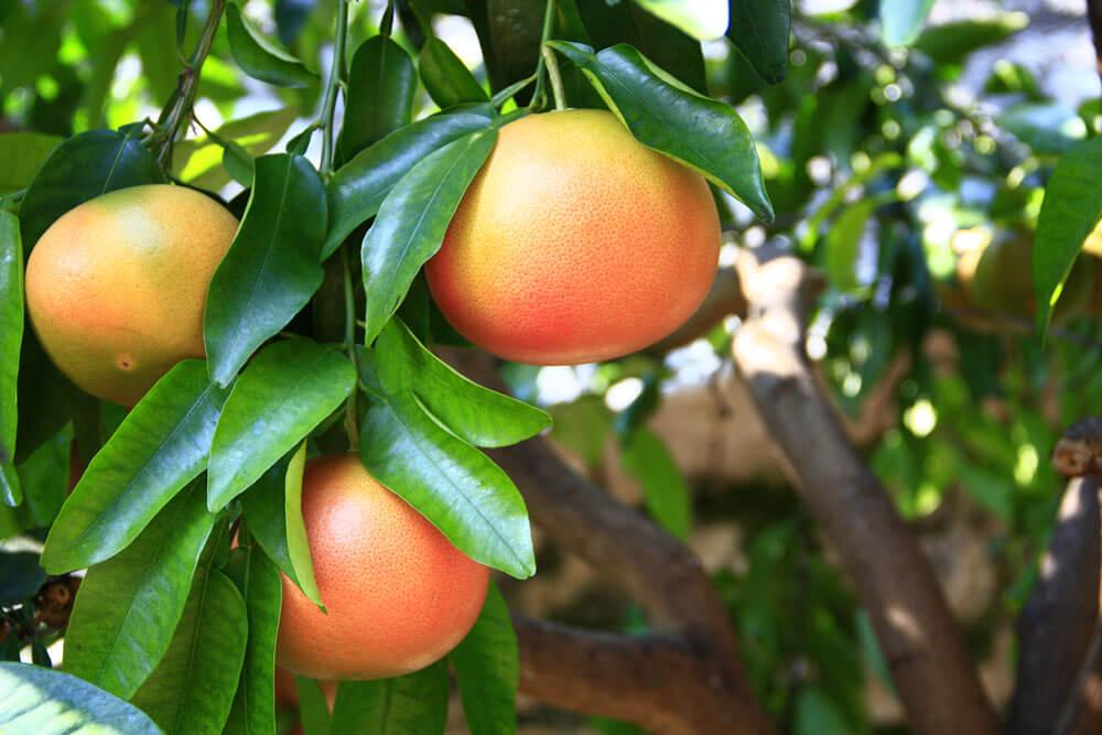 ARVOR CBD Grapefruit Seed Extract Flavors