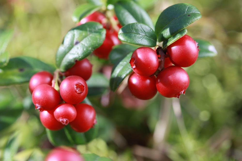 ARVOR CBD Lingonberry Flavors