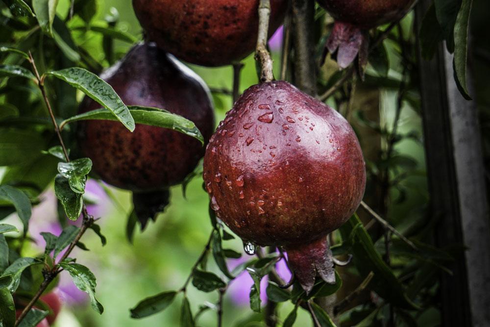 ARVOR CBD Pomegranate Flavors