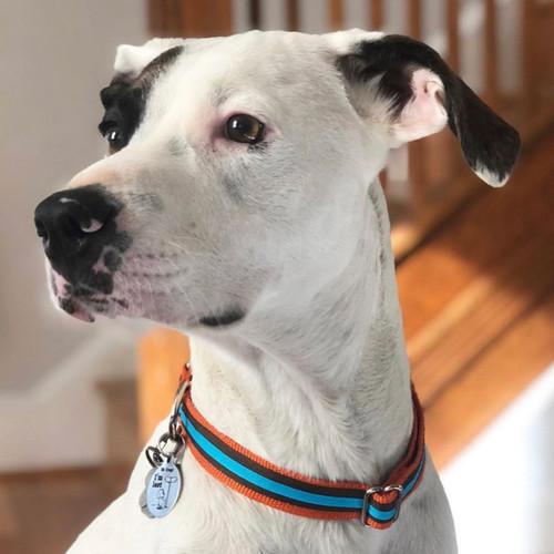 Striped Webbing Dog Collar