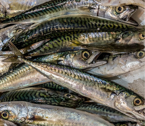 mackerel mackeral oily fish