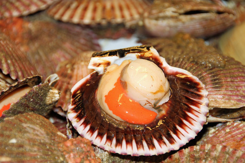 scallop, king scallop, shellfish, seafood, bivalve