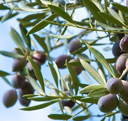 Olea Estates Olive Oil
