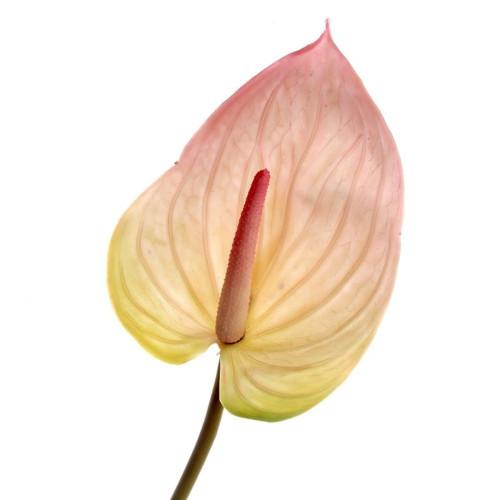Artificial Anthurium Light Pink