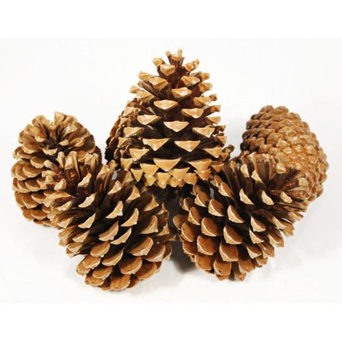Pine Cones Large x 25