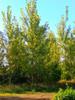 Hybrid Poplar - Bucky 25 Sticks