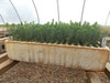Blue Spruce Kaibab Containerized Seedlings