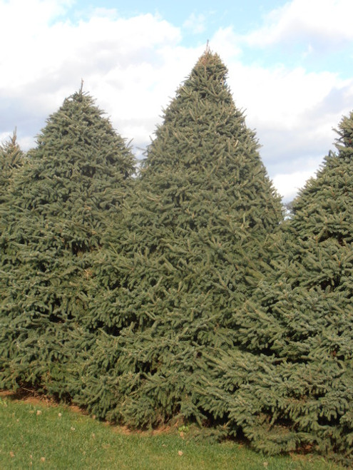 Black Hills Spruce A+2, 500 Trees