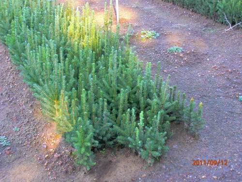 Black Hills Spruce A+2, over 500 Trees