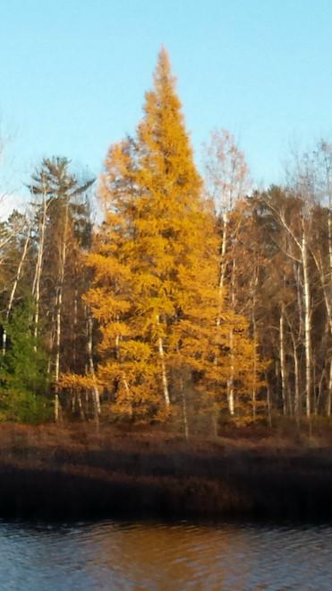 Tamarack A+2, 50 Trees