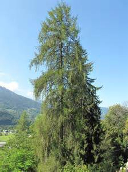 European Larch A+2, 250 Trees