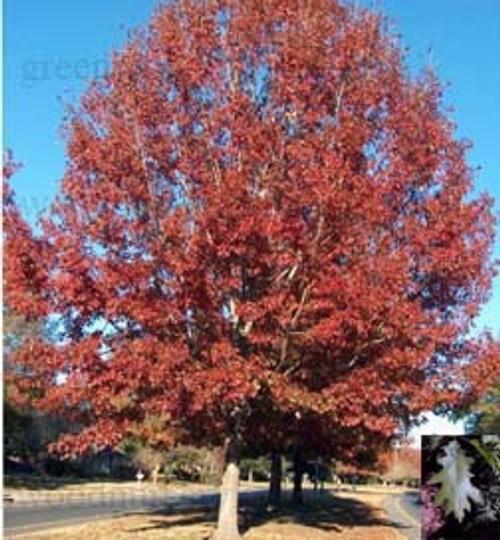 Red Oak Seedlings 1-0, 500 Trees