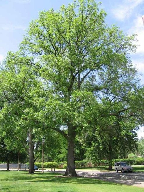 Bur Oak Seedlings 1-0, 100 Trees