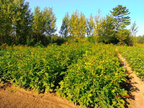 Red Oak Seedlings 1-0, over 500 Trees
