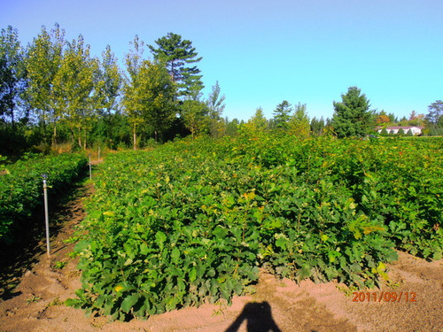 Bur Oak Seedlings 1-0, over 500 Trees