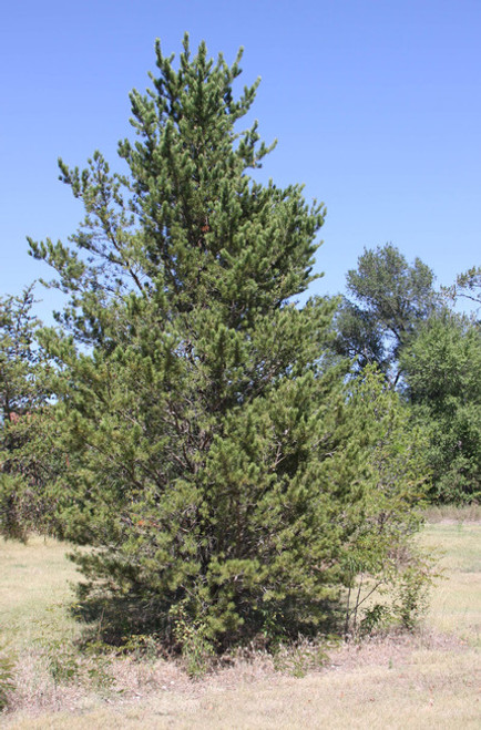 Jack Pine A+1, over 500 Trees
