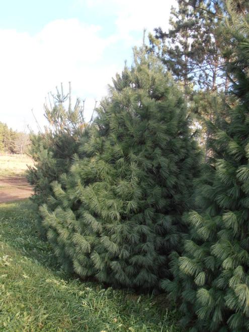 White Pine A+3, 250 Trees