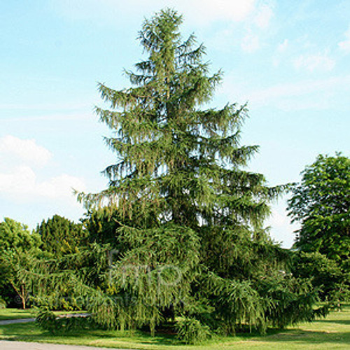Norway Spruce A+3, 250 Trees