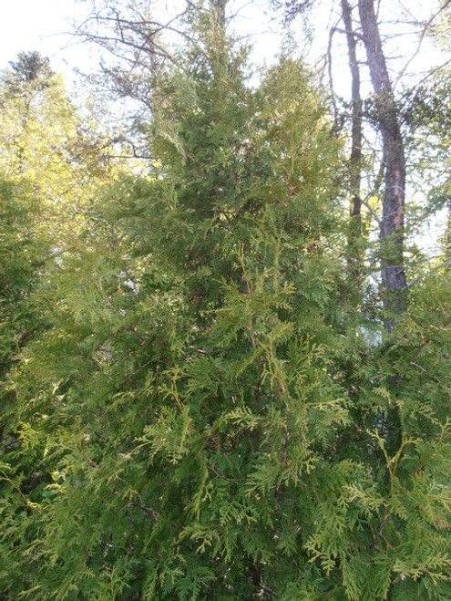Northern White Cedar Affinity A+3, 50 Trees