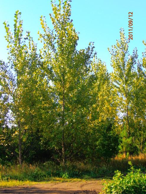 Hybrid Poplar - Bucky 50 Sticks