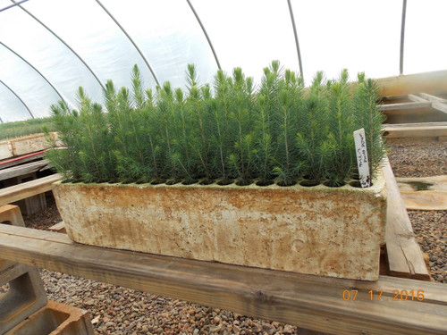 White Spruce Containerized Seedlings