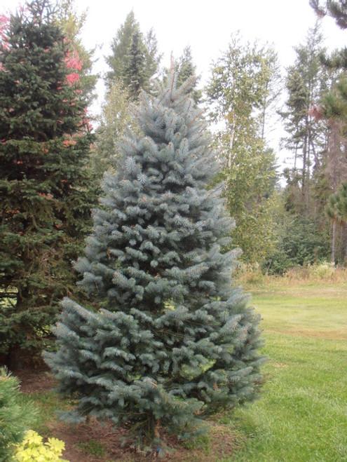Blue Spruce Kaibab A+2, 500 Trees