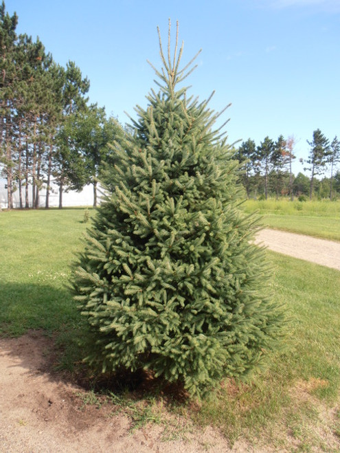 White Spruce A+2, 100 Trees
