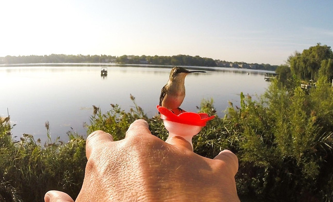 A hummingbird  landed on my Red ZUMMR Hummingbird Ring.