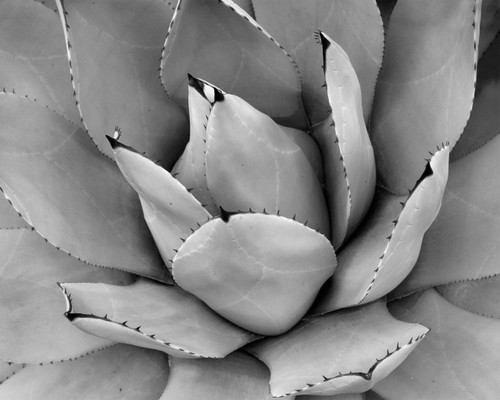 Agave Outdoor