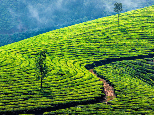 Kolukkumalai Tea Estate, India