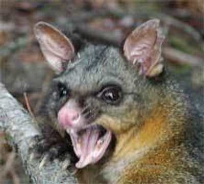What is a New Zealand Possum?