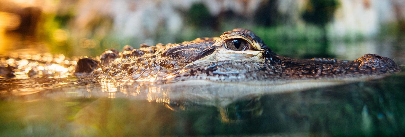 Alligator Jakes - Exotic Leather