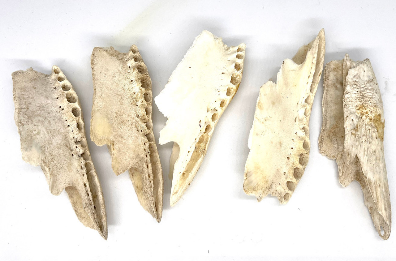 Top Jaw GENUINE ALLIGATOR JAWBONE FOR CASTING (10 PC)