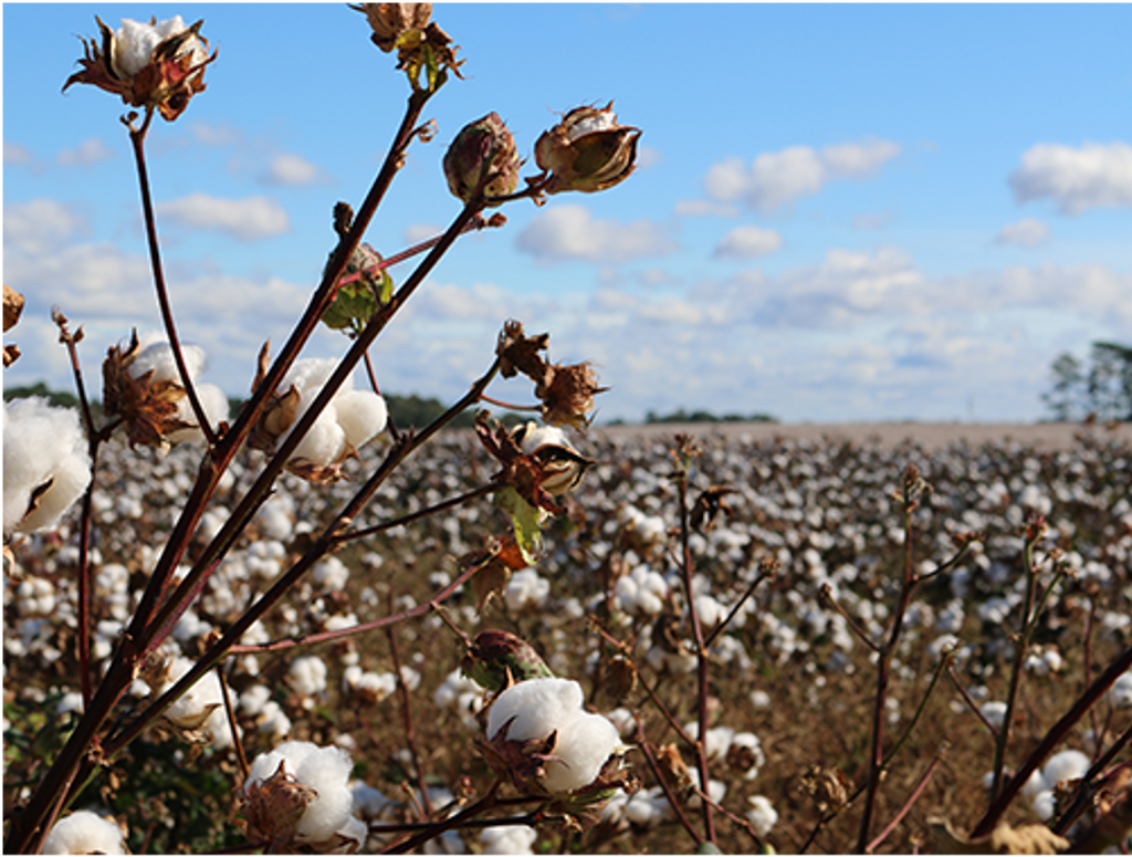 Egyptian Cotton Set To Double