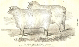 1867 RCA Hampshire Down Ewes, Long Island