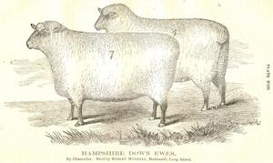 1867 RCA Hampshire Down Ewes, Long Island