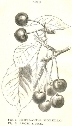1867 RCA Book Plates of Cherries