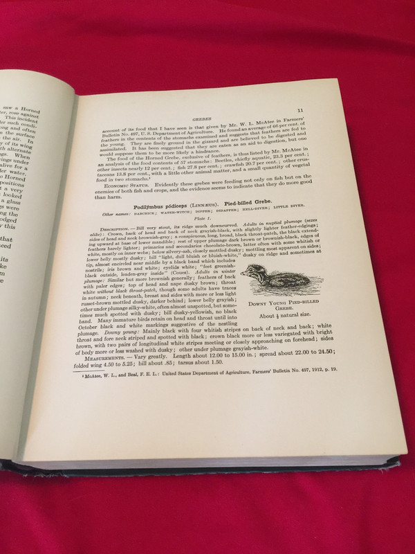 Volume one description of the pied-billed grebe, with drawing of a young grebe.
