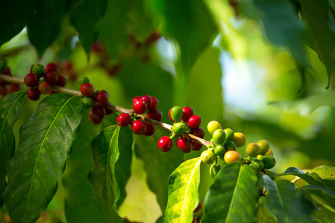 Types of Coffee Tree Found in Kona