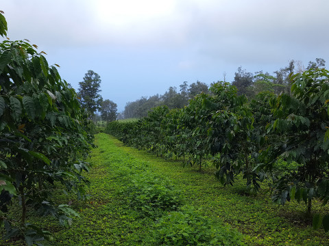 Maintaining the Health of our Kona Coffee Tree's