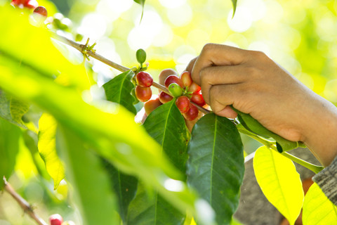 ​Different Coffee Varieties