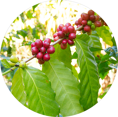 pruning coffee trees
