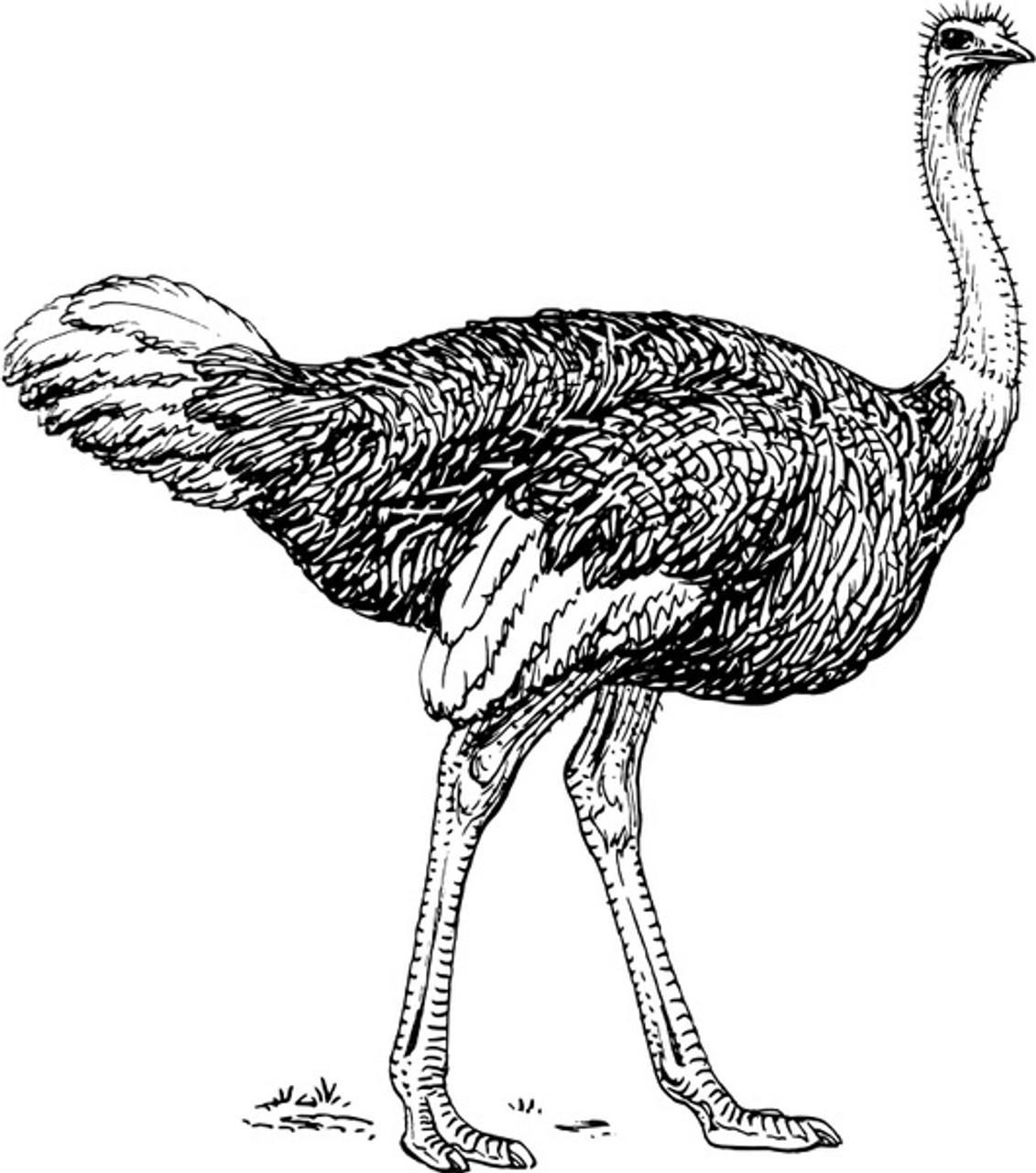 Emu + Ostrich