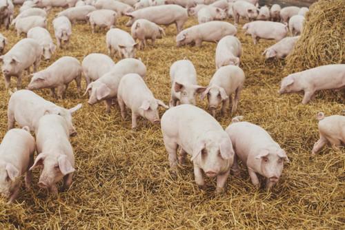 CRMC Pork Kidney